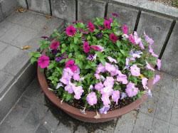 塾玄関 花壇  季節ごとの花が楽しめます